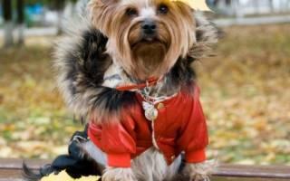 Свитер для маленькой собаки: украшение или необходимый предмет гардероба