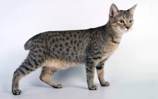 Пиксибоб — описание пород котов