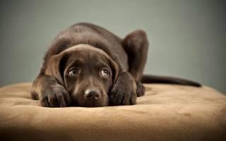 Перикардит  — как лечить у собак