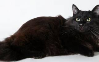 Йоркская шоколадная кошка — описание пород котов