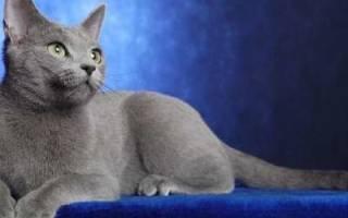 Русская голубая кошка — описание пород котов