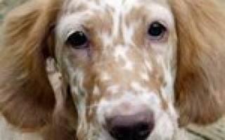 Миокардит — как лечить у собак