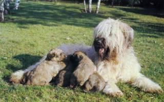 Как определить начинающиеся роды у собаки?