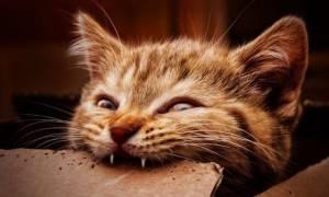 Смена зубов у кошек: когда выпадают молочные зубы?