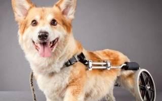 Что нужно для ухода за собакой-инвалидом