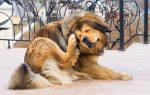 Ушная форма чесотки собак. — как лечить у собак