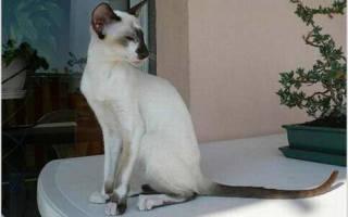 Сейшельская кошка — описание пород котов