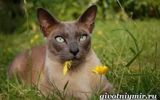 Тонкинская кошка — описание пород котов