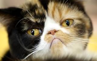Болит ли у кошек голова?
