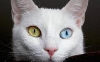 Турецкий ван — описание пород котов