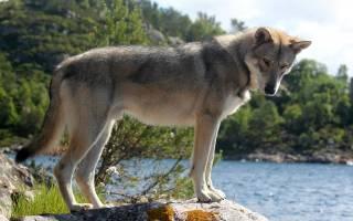 Описание породы Волчья собака Сарлоса
