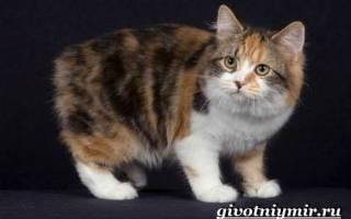 Кимрик — описание пород котов