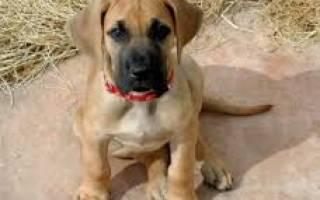 Особенности выращивания и кормления щенков крупных пород собак