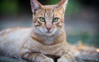 Острый метрит у кошки