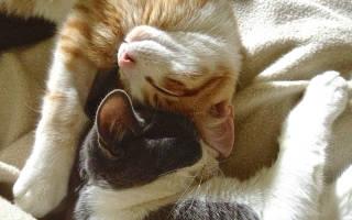Как проходит вязка кошек?