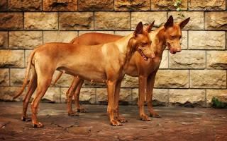 Описание породы Фараонова собака