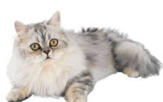 Наполеон (менуэт) — описание пород котов