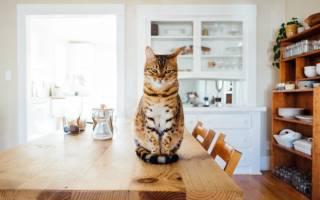 Как отучить кошку ходить по столу?