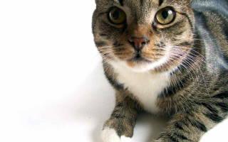 Пиелонефрит у кошки