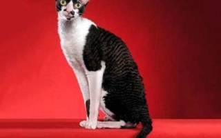 Орегон-рекс — описание пород котов