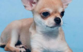 Клички для собак породы чихуахуа и их влияние на судьбу питомца