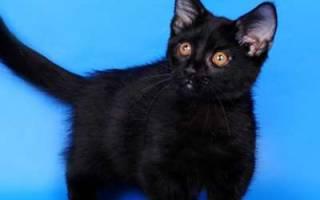Манчкин — описание пород котов