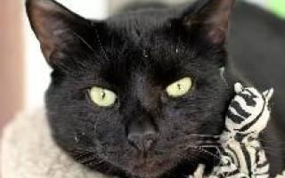 Бомбейская кошка — описание пород котов