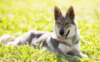 Описание породы Чехословацкий влчак