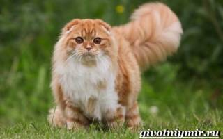 Хайленд фолд — описание пород котов