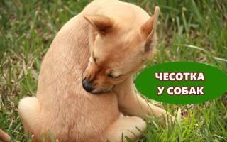 Мокнущая сенная чесотка (Пелодера) — как лечить у собак