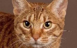 Оцикет — описание пород котов