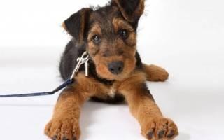 Как приучить взрослую собаку гулять спокойно на поводке