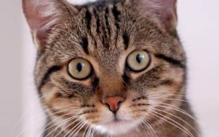 Европейская короткошерстная (кельтская) — описание пород котов
