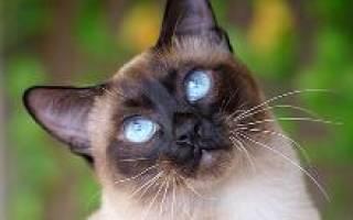 Меконгский бобтейл — описание пород котов