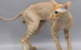 Петерболд или Петербургский сфинкс — описание пород котов