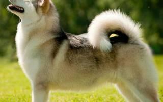 Клички для собак породы лайка: основные секреты выбора