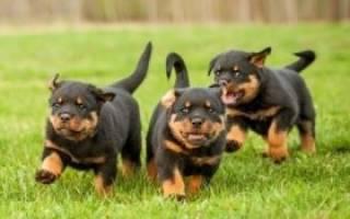 Как ухаживать за щенком ротвейлера: полезные советы