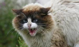 Что делать, если кошка орет?
