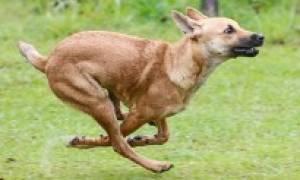 Гигрома локтя (Ложный бурсит) — как лечить у собак