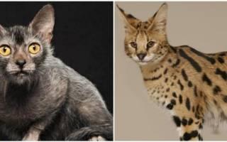 Породы кошек, не вызывающие аллергию