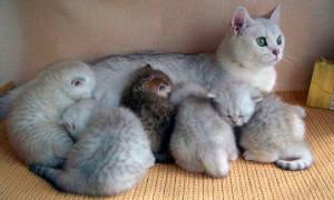 Чем кормить кошку, кормящую котят?