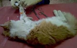 Флегмона (острогнойное воспаление) у кошек