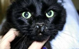 Синусит у кошек