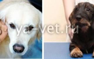 Дерматомикозы — как лечить у собак