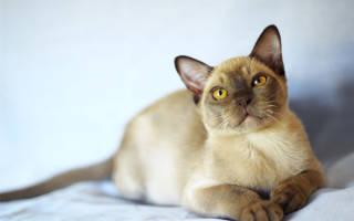 Бурманская кошка — описание пород котов