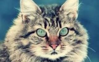 Сибирская кошка — описание пород котов