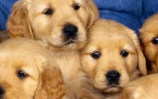 Как научить собаку притворяться мертвой по команде