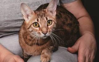 Серенгети — описание пород котов