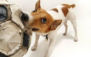 Как заставить собаку прекратить грызть вещи, которые ей грызть не следует
