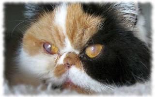 Кератит (воспаление роговицы) у кошки